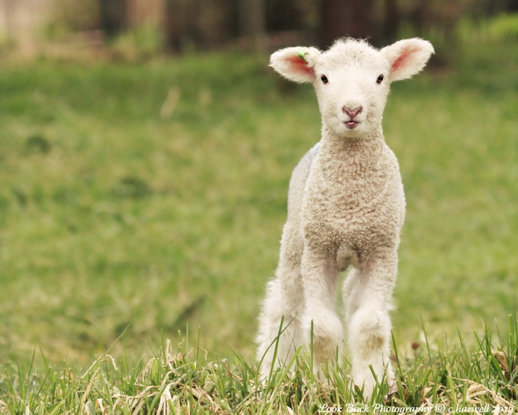 the lamb The poem begins with the question, little lamb, who made thee the speaker, a child, asks the the lamb has two stanzas, each containing five rhymed couplets repetition in the first and last.
